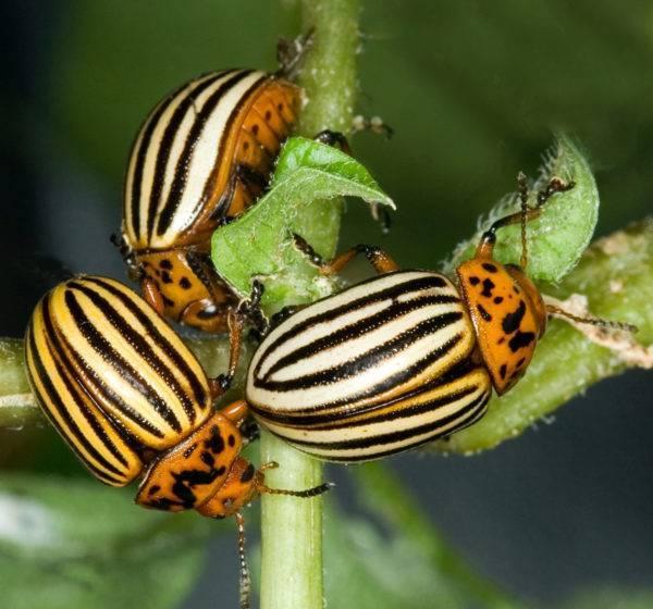 Средство регент от колорадского жука