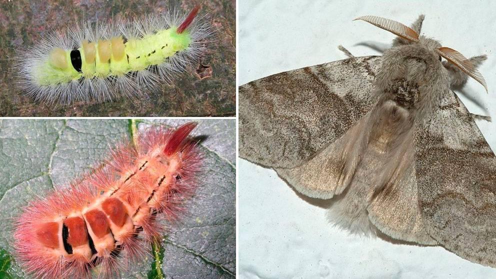 Бабочки крапивницы что едят