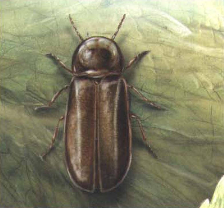 Иванов червячок – зеленый маячок в прибрежной траве. светлячок насекомое (лат. lampyridae) почему светлячки светятся