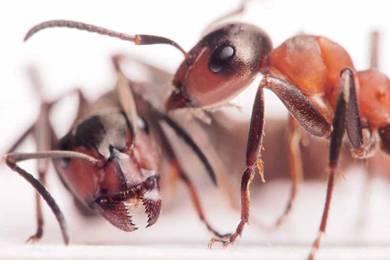 Сколько живут муравьи различных видов?