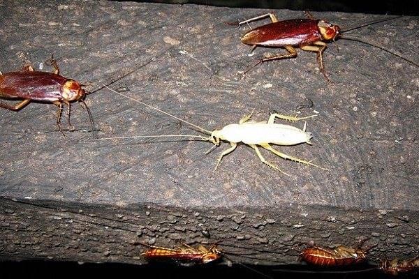 Белый таракан – это мутант или какая-то новая разновидность насекомых? тараканы мутанты страшный мутант или обычное членистоногое