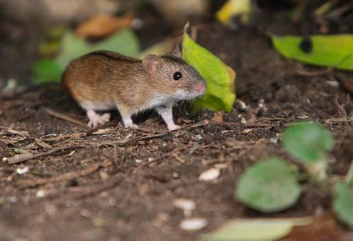 Что делать, если собака случайно съела крысиный яд?