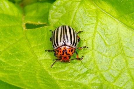 Самые эффективные средства от колорадского жука