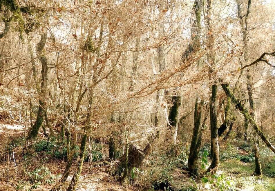 Самшит – хитрости выращивания, болезни и вредители