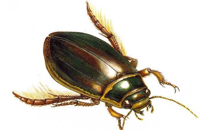 Жук плавунец: жизненный цикл и дыхание насекомого