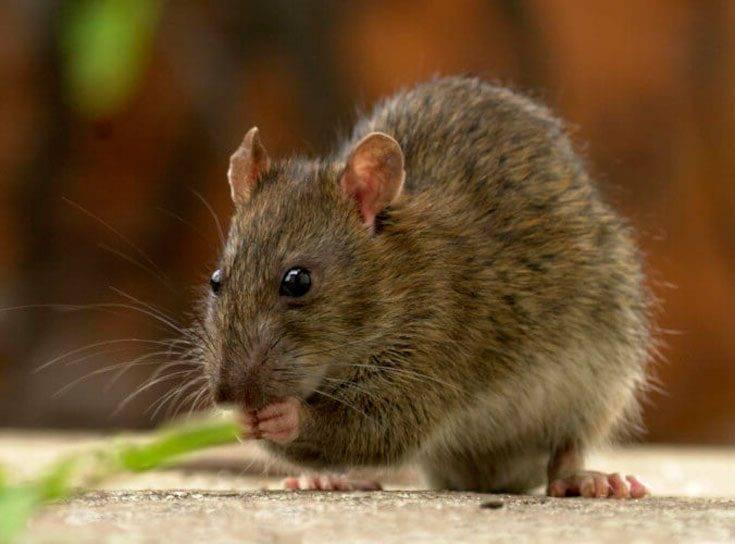 Сколько живут домашние крысы и при каких условиях?