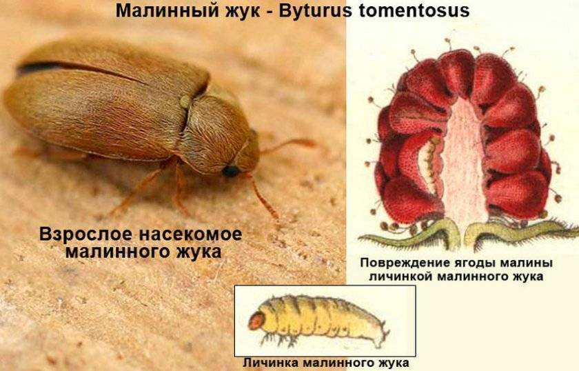 Боремся с малиновым жуком: дельные советы как избавиться от вредителя