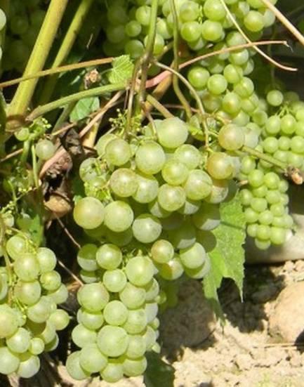 Филлоксера виноградная