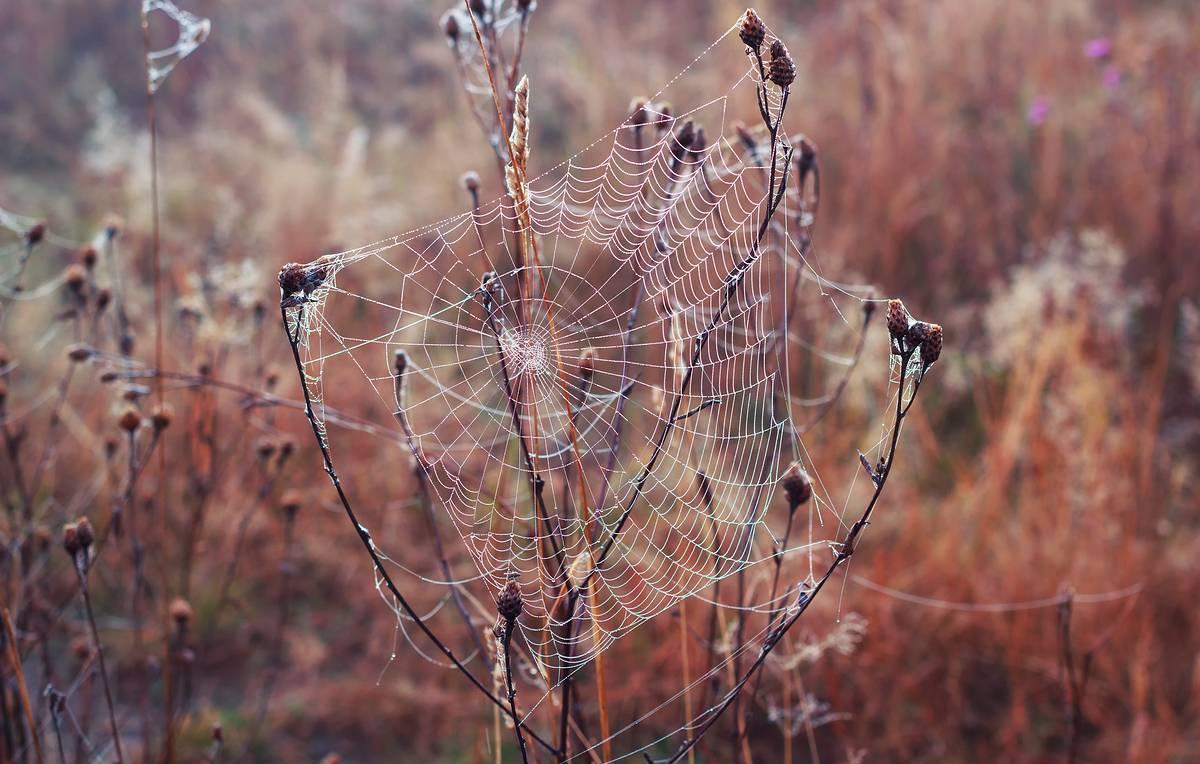 Как паук плетет паутину, состав паутины паука