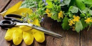 Полезный сорняк: для чего можно использовать чистотел на даче