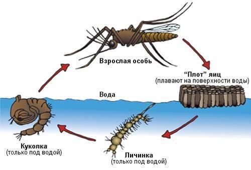 Как размножаются и сколько живут комары