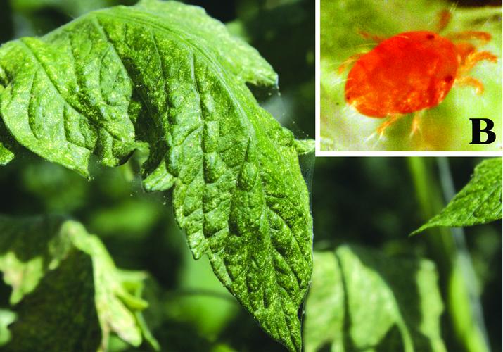 Как избавиться от паутинного клеща в теплице – полезные советы