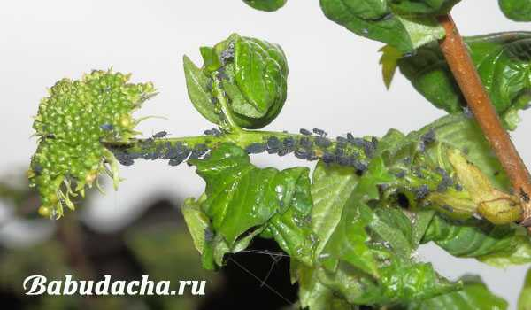 Как избавится от калинового и земляничного листоеда