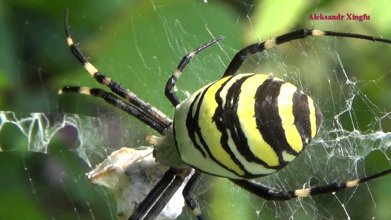 Черный паук с зеленым брюшком. что представляет собой паук аргиопа? строение тела паука-осы