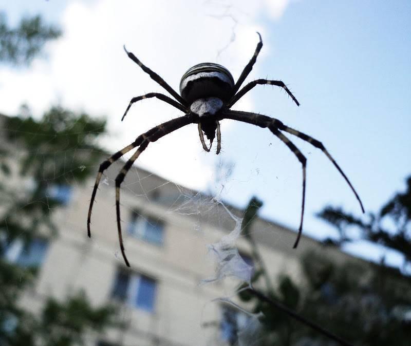 Известные и интересные виды пауков. симпатичный и коварный. паук с желтыми полосками черный паук с зеленым брюшком