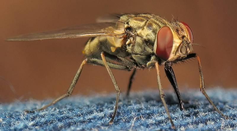 Почему муха в августе особенно злая и больно кусается? кусаются ли мухи, – какие, когда и почему умеют ли мухи кусаться