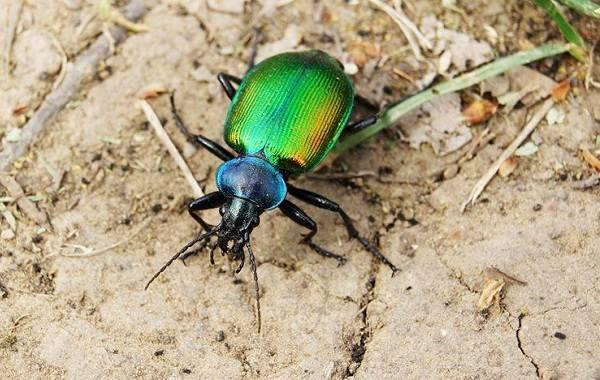 Жесткокрылые жуки