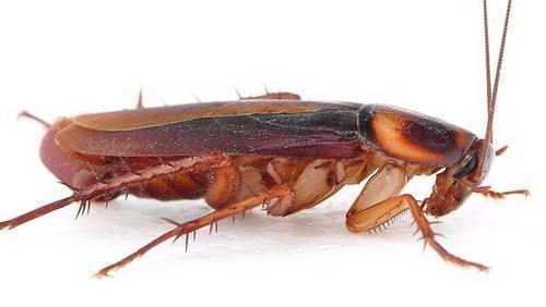 Как выглядит таракан – найдем отличие десяти представителей тараканьего семейства и их потомства