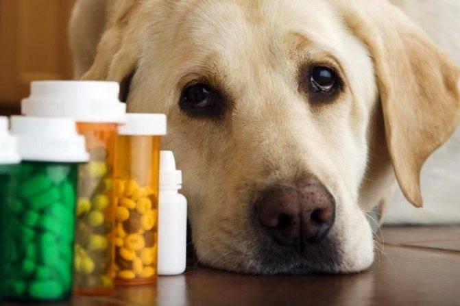 Подкожный клещ у собаки – как выглядит, симптомы, как лечить и как не перепутать с лишаём