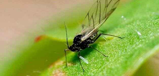 Какие насекомые-вредители помидоров досаждают огородникам