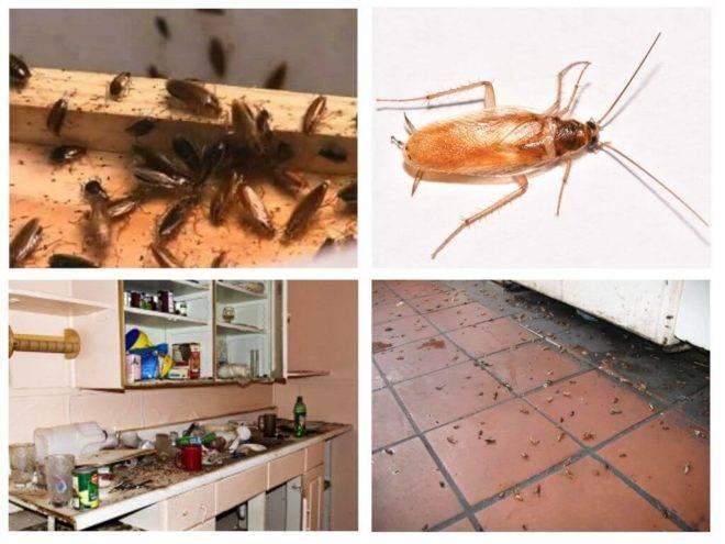 Прусаки – домашние рыжие тараканы