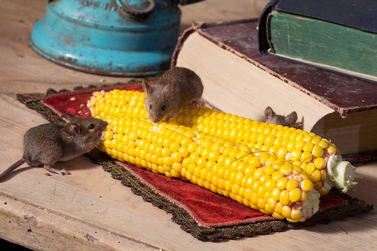 Зерновая приманка от грызунов — критерии выбора и сравнительный анализ топ-17 лучших