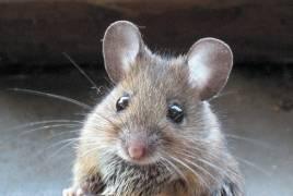 Сколько должны жить домашние мыши?