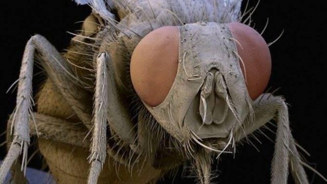 Сколько живут мошки: как проходит процесс развития насекомого?
