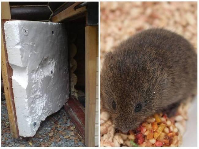 Едят ли мыши пенопласт и что с этим делать?