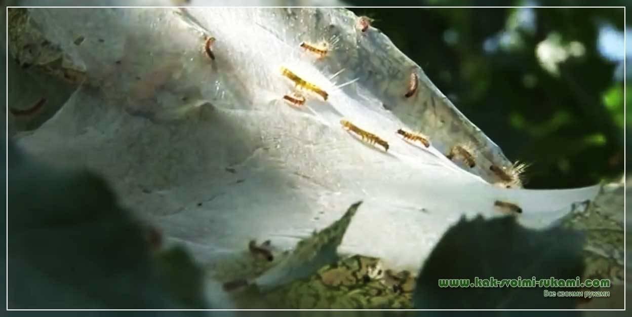 Как избавиться от гусениц на капусте