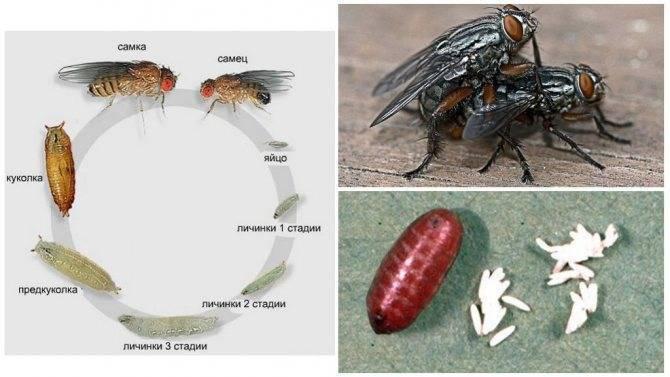 Можно ли вырастить личинку насекомого под кожей и зачем? (4 фото)