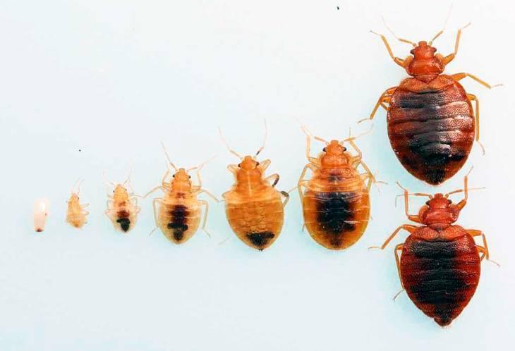 Избавляемся от постельных клопов в квартире: как потравить кровососущих паразитов