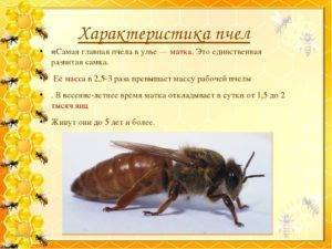 Карпатская порода пчел: особенности содержания