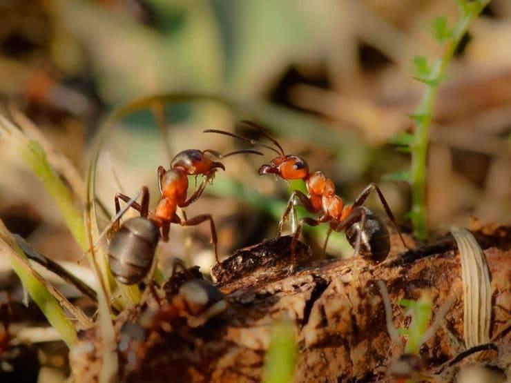 Десятка самых болезненных укусов среди насекомых. красные или огненные муравьи-жнецы самый сильный укус насекомого