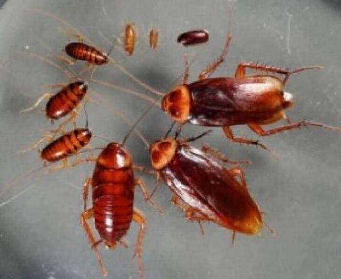 Применение средства регент 800 от тараканов