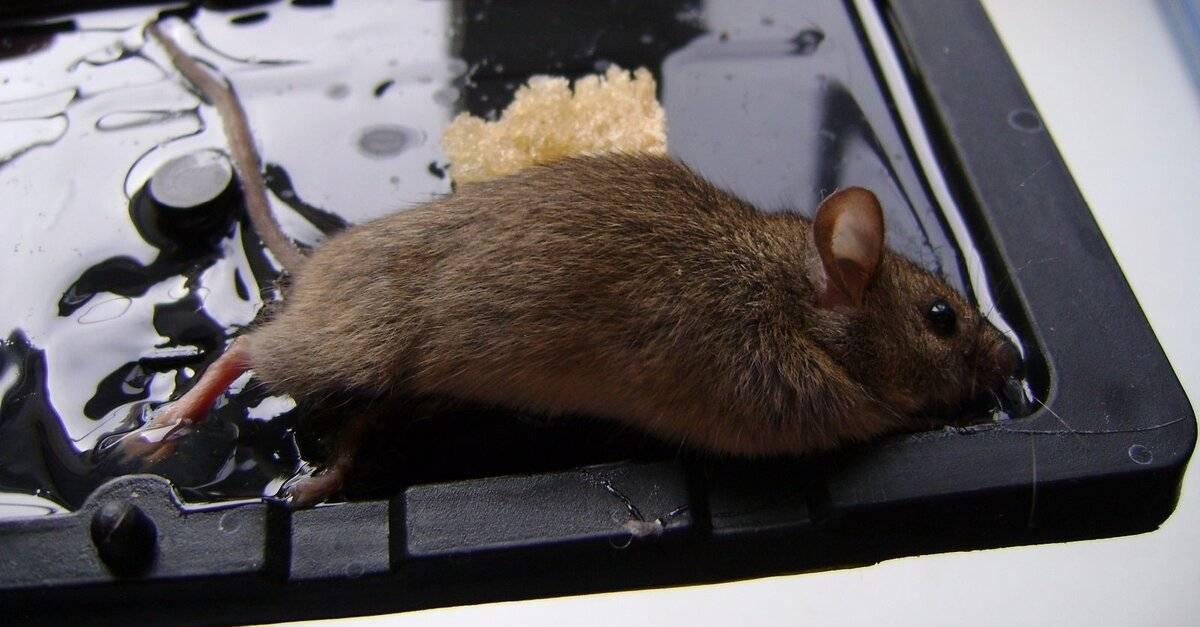 Чем быстро отмыть клей от мышей