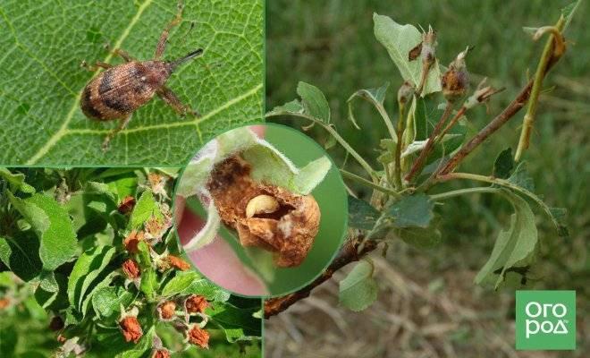 Как избавиться от долгоносика на яблоне