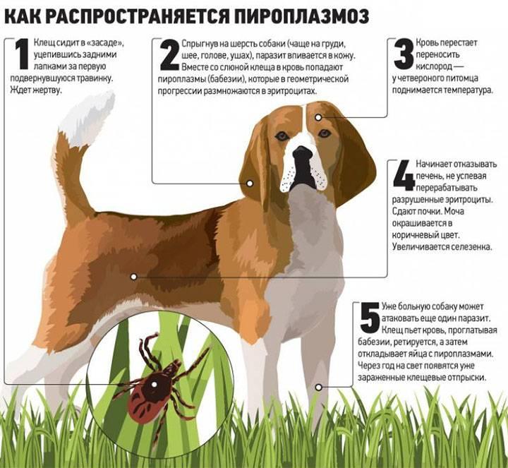 Собаку укусил клещ - как спасти любимца