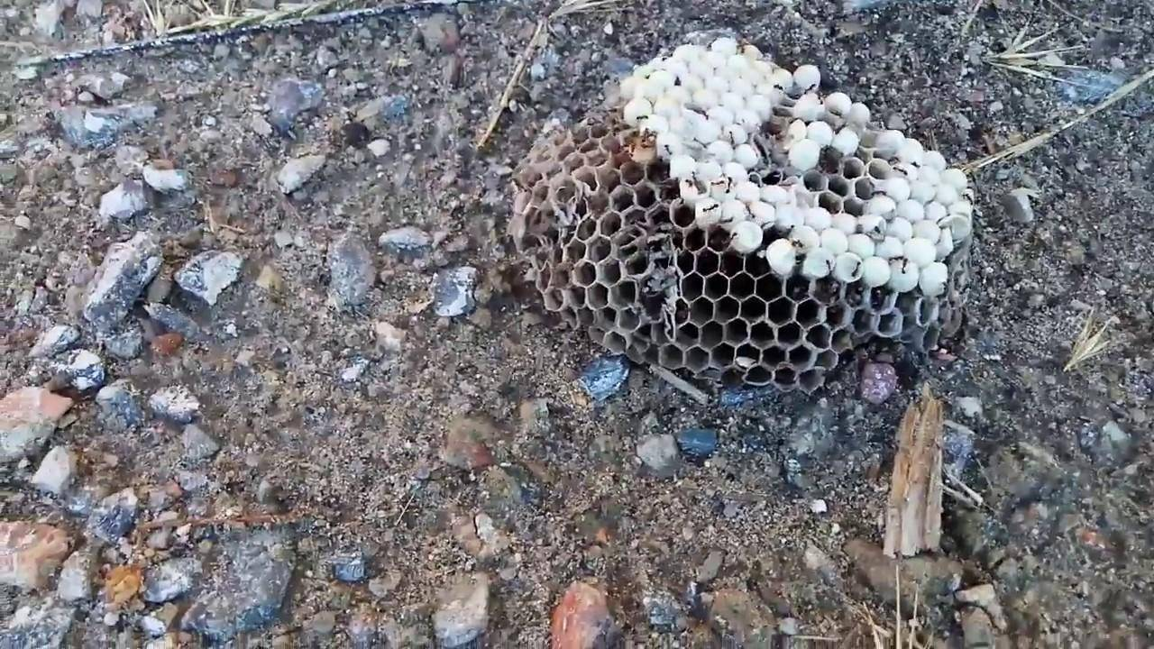 Как избавиться от муравьев на пасеке?