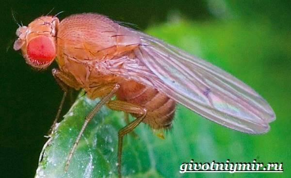 Плодовая мушка дрозофила: описание вида, продолжительность жизни, откуда берутся, фото