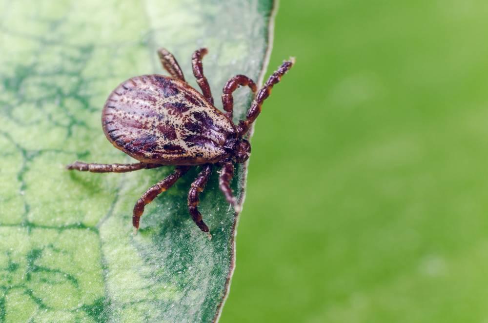 Клещи – чем опасны укусы. симптомы и последствия
