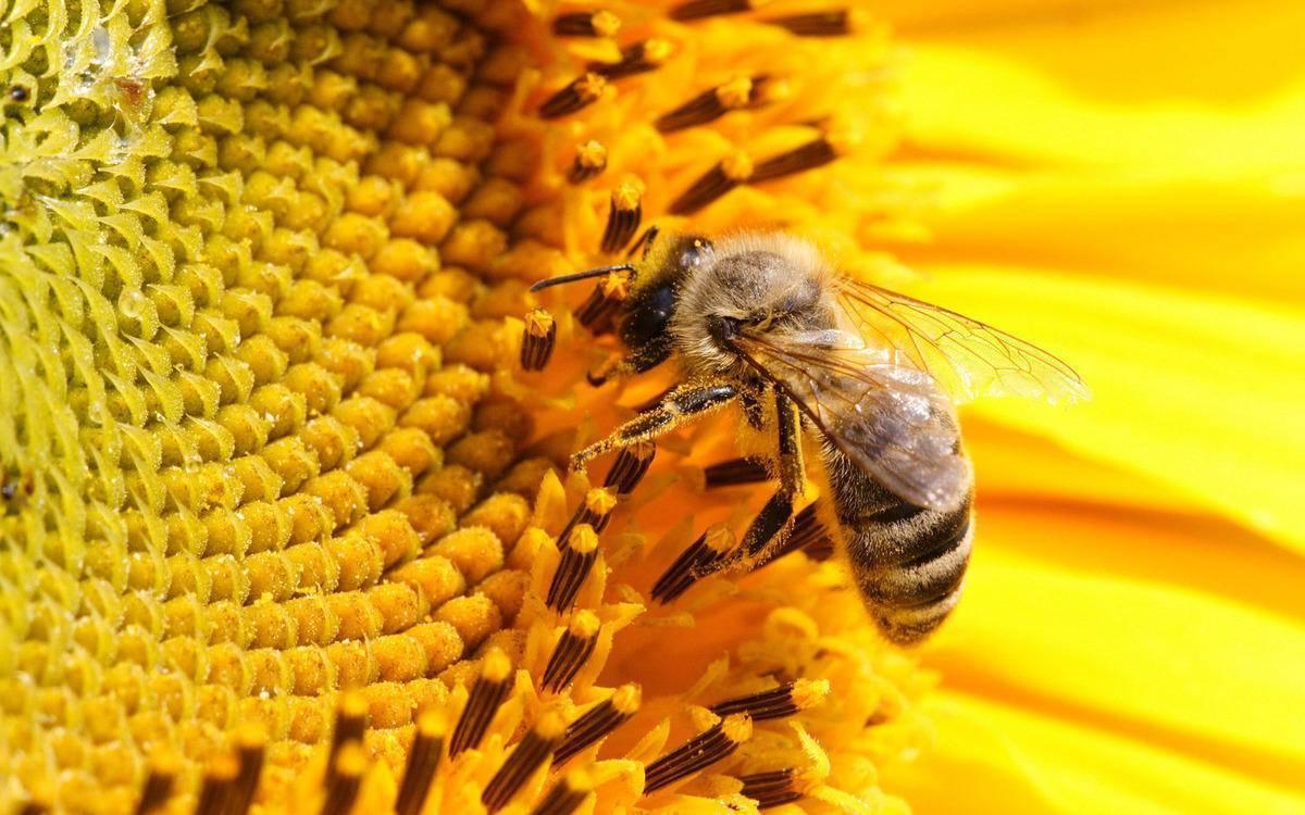 Почему вымирание пчел — это катастрофа для всего мира?