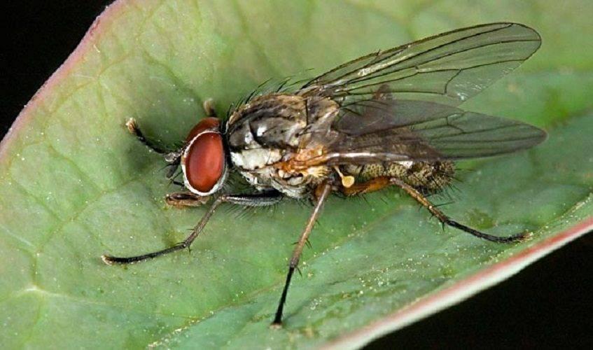 Как избавиться от луковой мухи на грядке — верные рекомендации