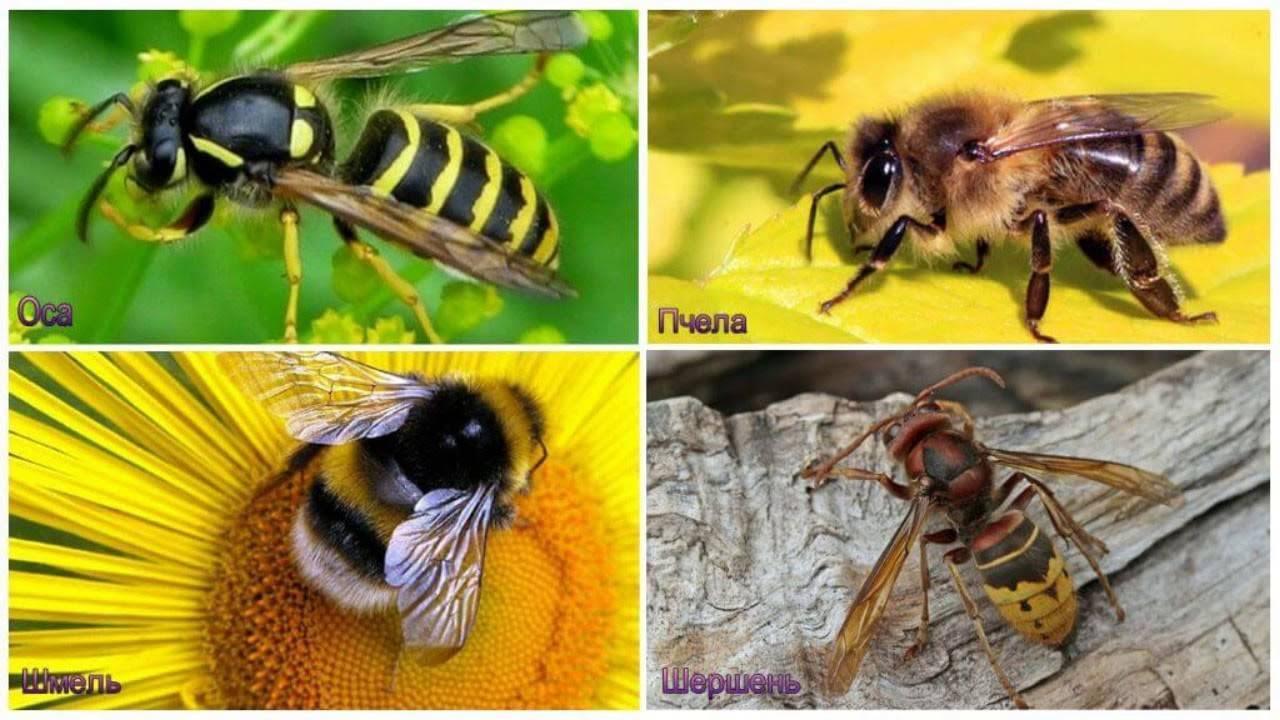Пчелиная матка (королева) — полный обзор, фото и видео