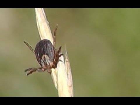 Нимфа (личинка) клеща: как выглядит, этапы развития, опасна ли для человека