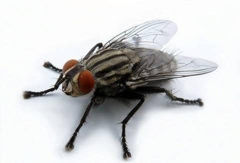Почему мухи потирают лапки