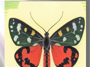 Время медведиц. бабочка медведица госпожа – летнее чудо у ручья мрачная пещерная бабочка