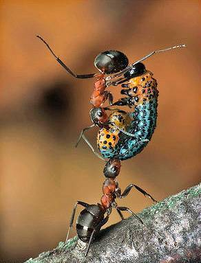 Миф о силе муравья