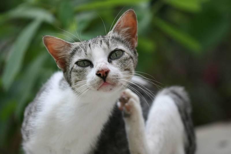 Ушной клещ (отодектоз) у кошек и котов: симптомы и лечение