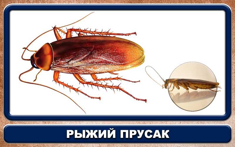 Как называется таракан. почему тараканов называют стасиками. методы борьбы со стасиками